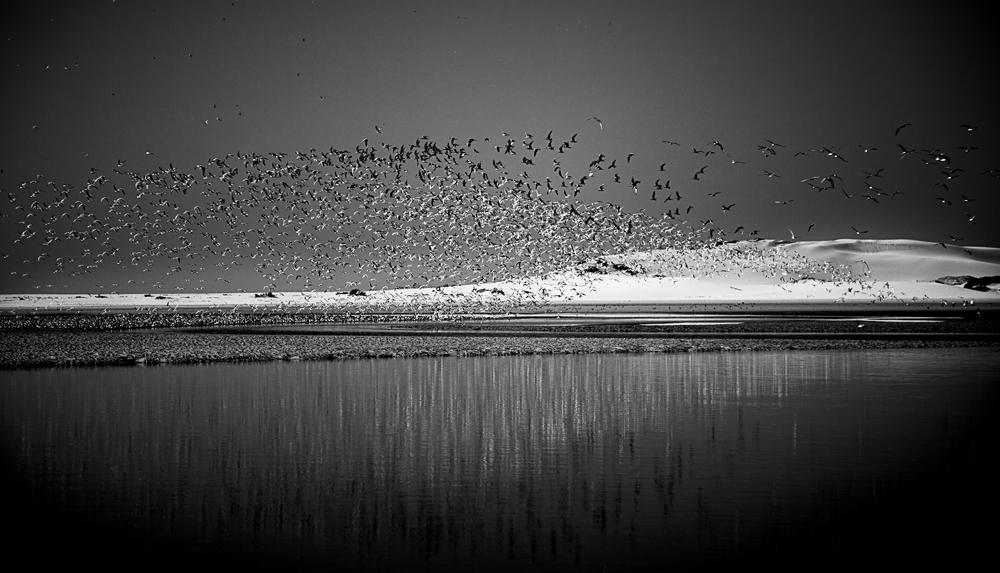 Arctic Terns 3