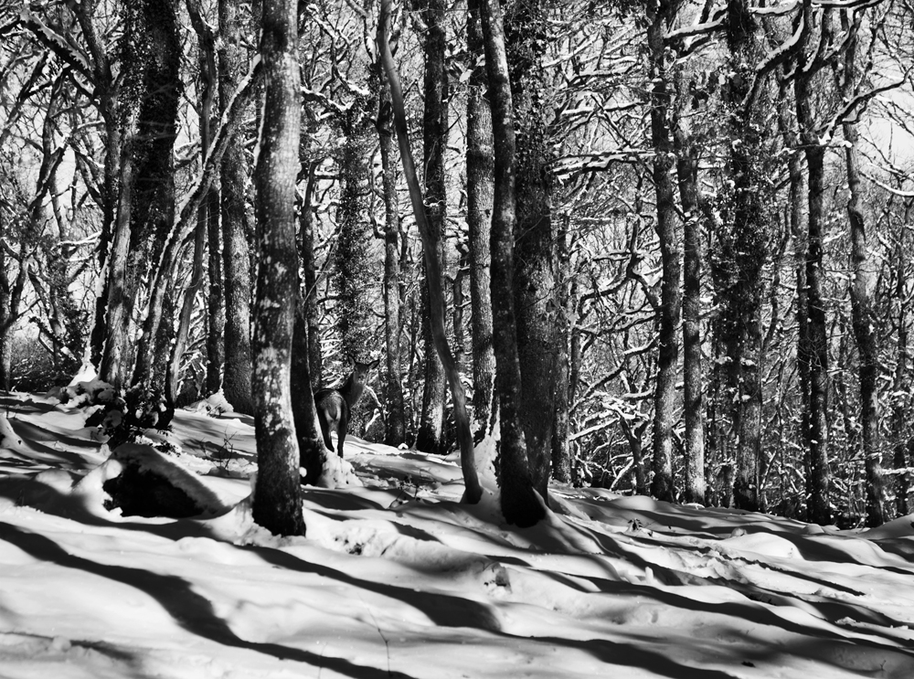 Hind Hidden in Snowy Wood