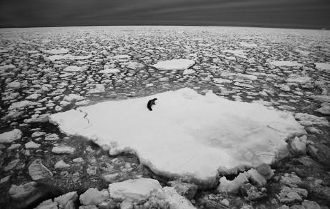 Crabeater, Antarctica, 2012