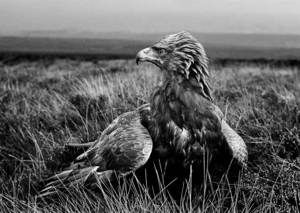 Sitting Golden Eagle