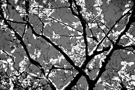 Japanese Snow Blossom 1