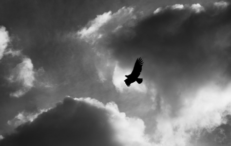 Condor (Patagonia & Atacama)